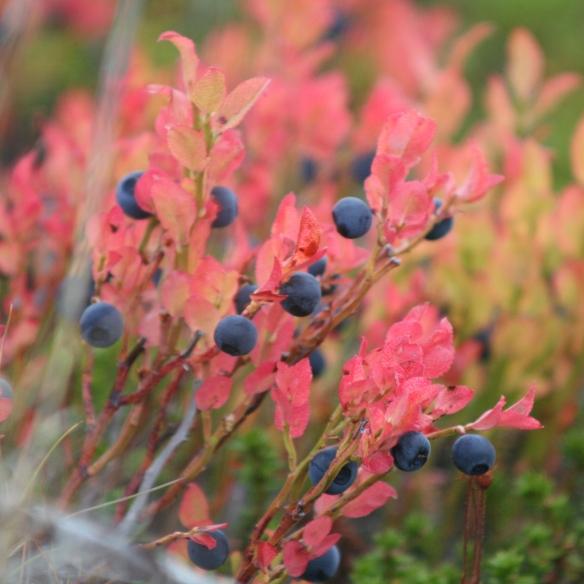 Berendruiven heten deze rode plantjes die ervoor zorgen dat al die bergen rood-bruik kleuren!